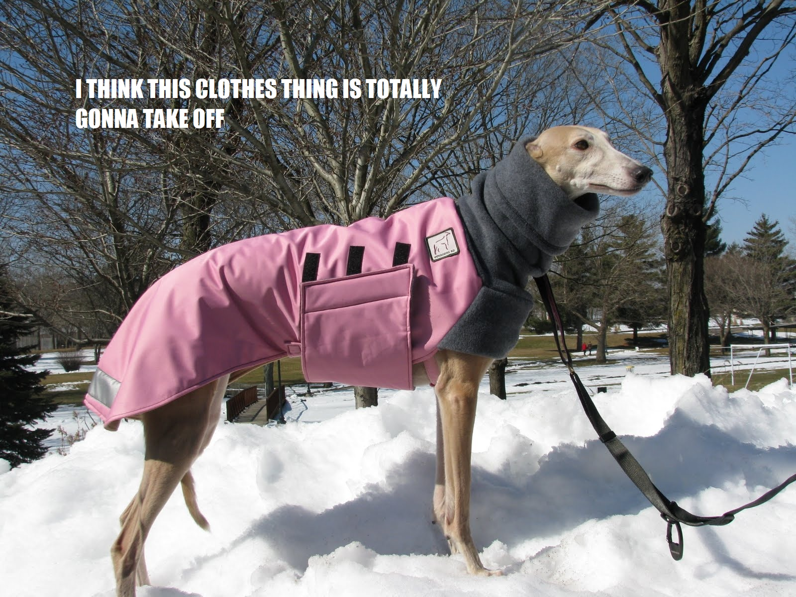 "Greyhound wearing coat funny meme saying ""I think this is going to take off"""